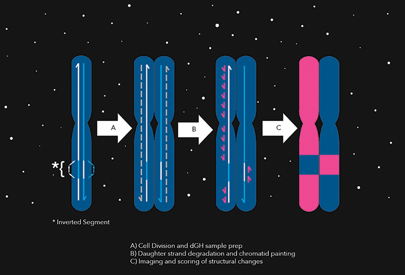 Diagram showing how chromatid paints highlight chromosomal inversion after chromosome divides