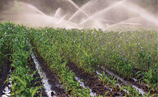 Rows of green plants in black dirt are sprayed with water, with water puddles between the rows