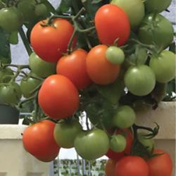 Red robin tomatoes growing in vertical hydroponics